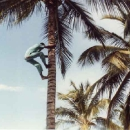 climbing-for-coconuts.jpg